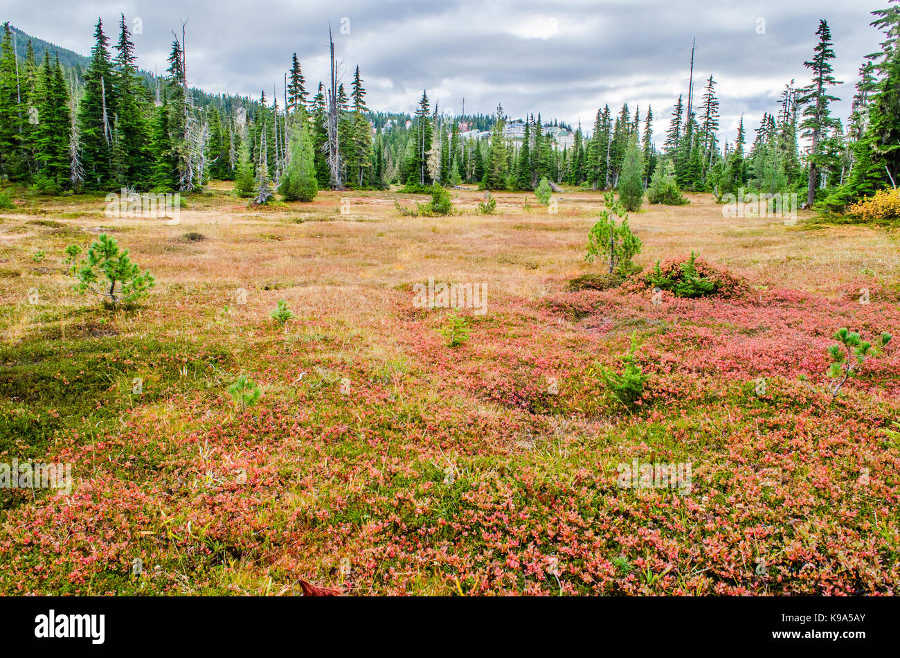 Autumnal Paradise meadows , the Fall, - Strathcona National Park, Canada - Stock Image