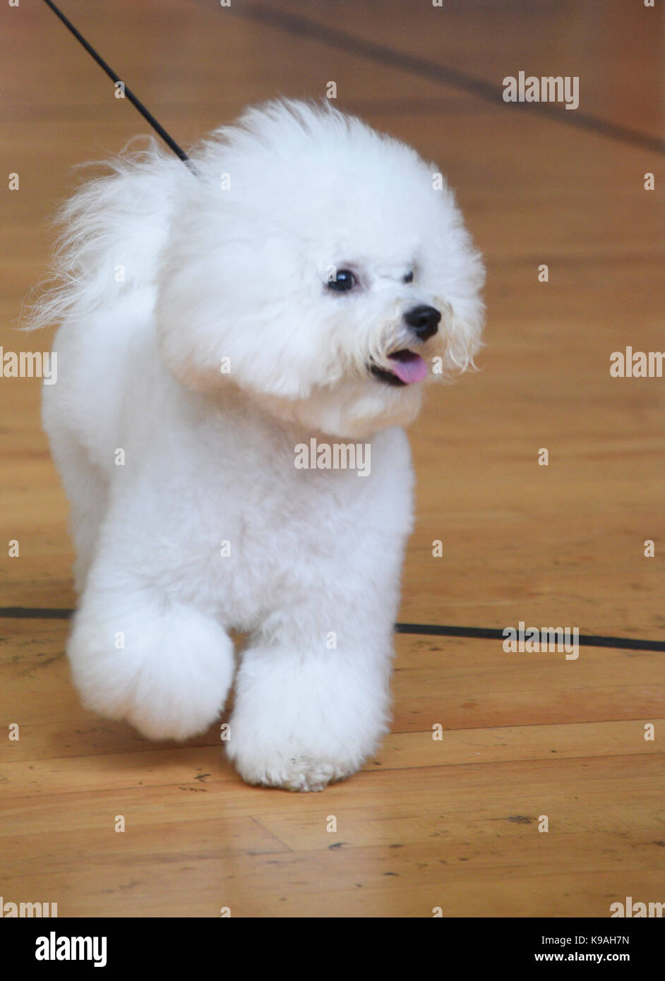 Bichon Frise (curly lap dog) is a small breed of dog of the Bichon type. The Bichon Frise is a member of the Non - Stock Image