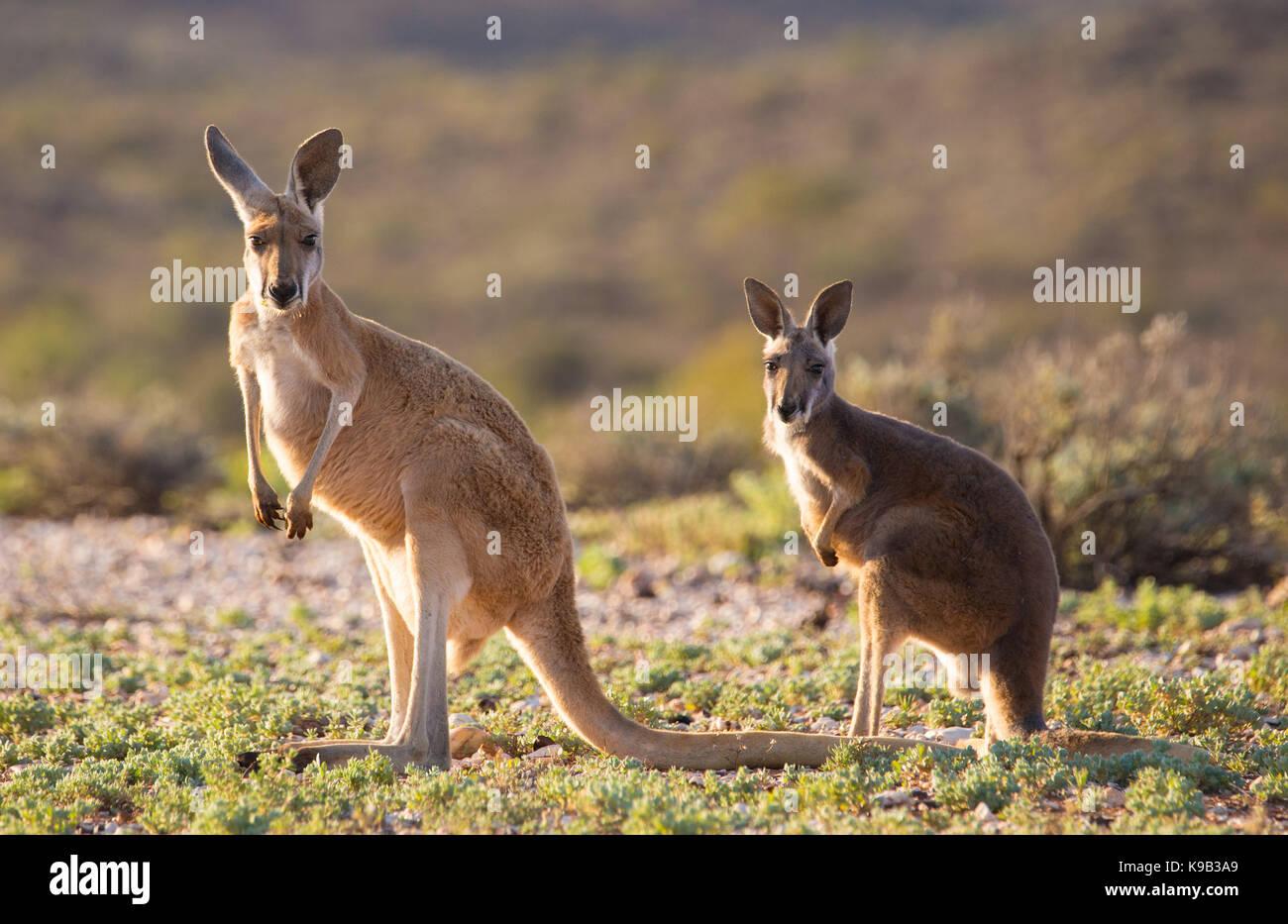 Red Kangaroo (Macropus rufus), Sturt National Park, outback NSW, Australia - Stock Image