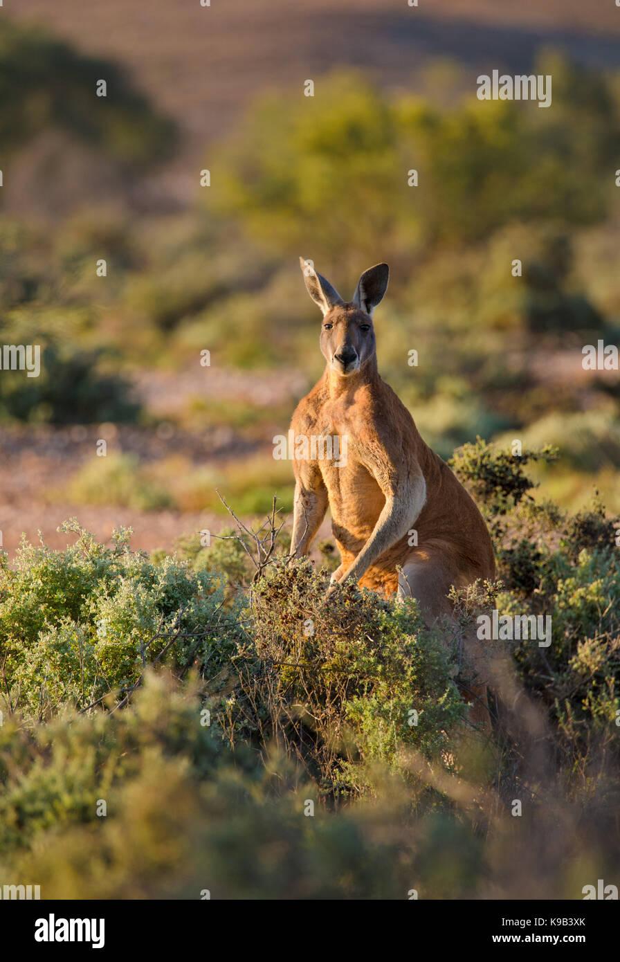 Male Red Kangaroo (Macropus rufus), Sturt National Park, outback NSW, Australia - Stock Image