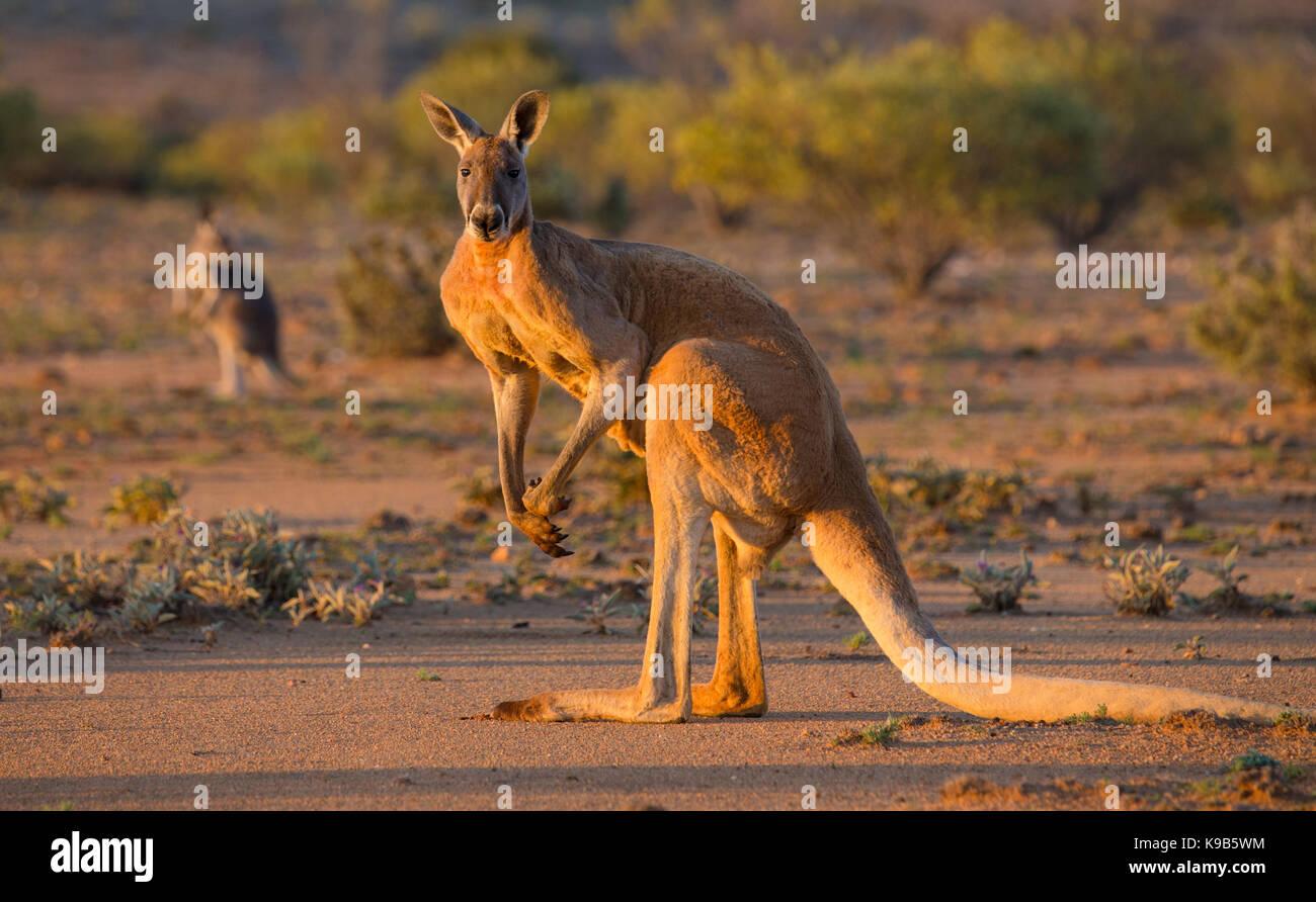 Large male Red Kangaroo (Macropus rufus), Sturt National Park, outback NSW, Australia - Stock Image