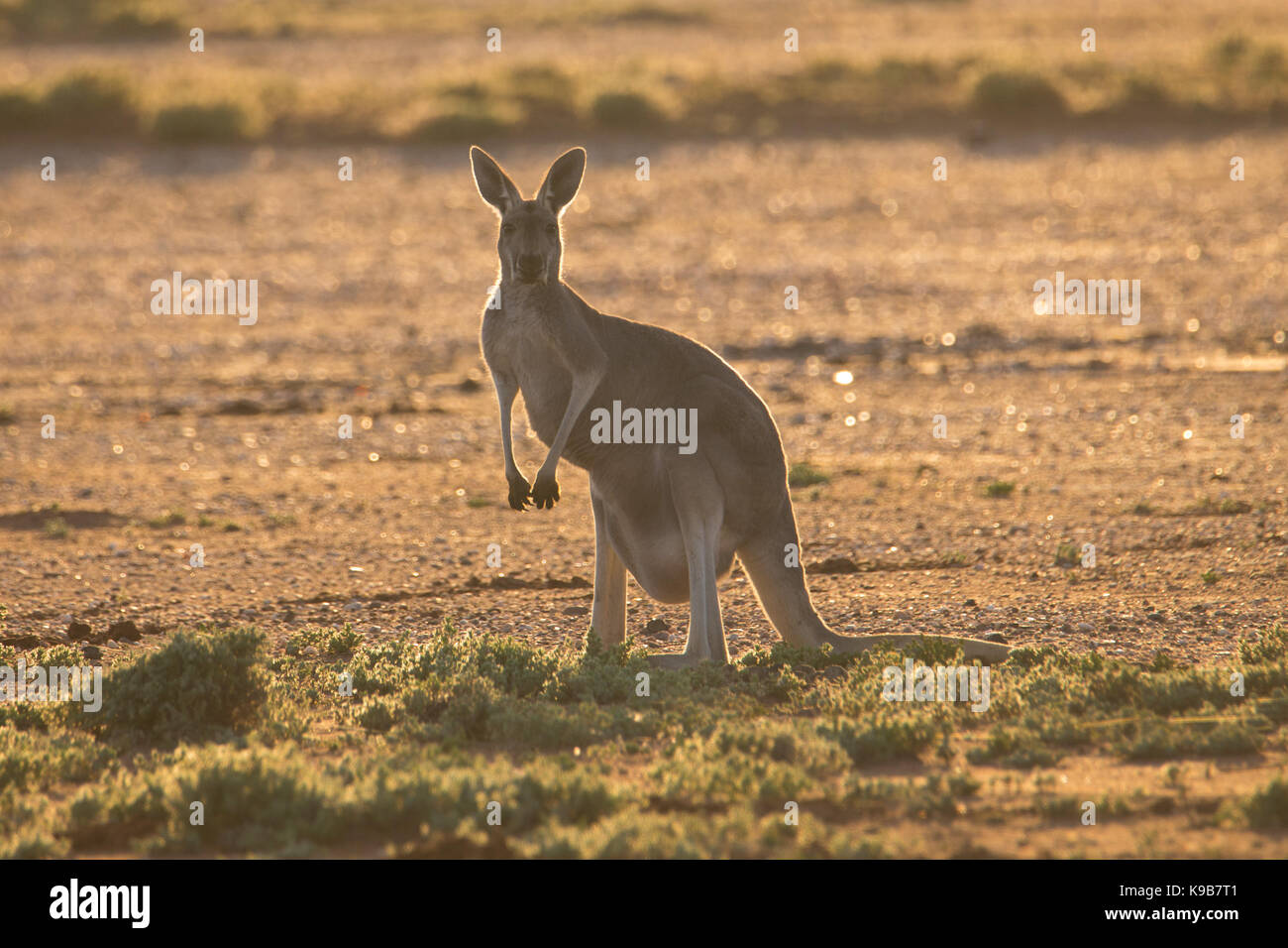 Female Red Kangaroo (Macropus rufus) in warm late afternoon light, Sturt National Park, outback NSW, Australia - Stock Image