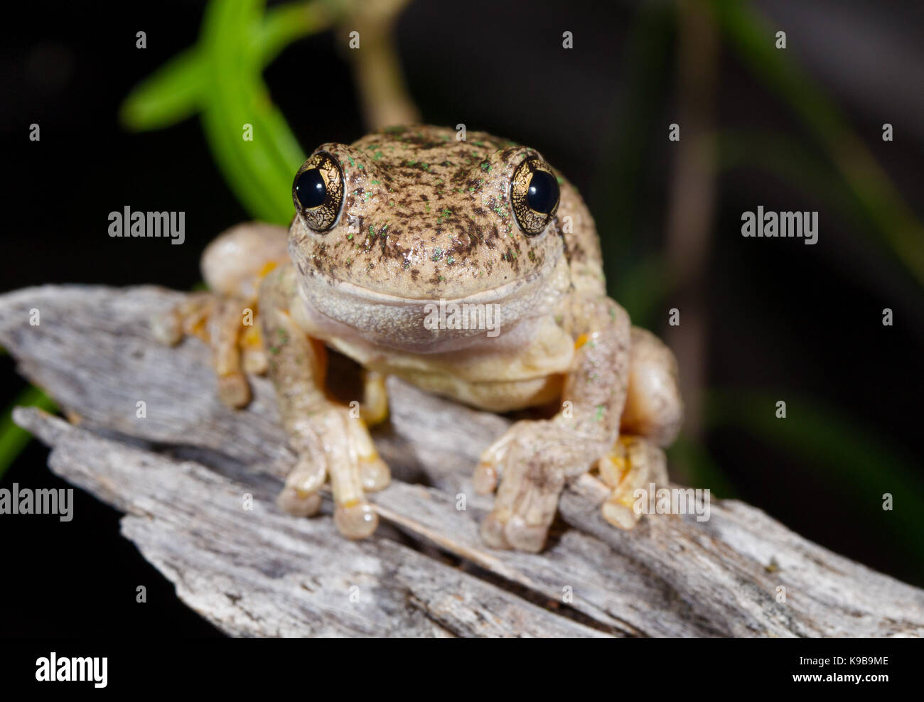 Peron's Tree Frog (Litoria peronii), also known as Emerald-spotted Tree Frog, Queensland, Australia Stock Photo