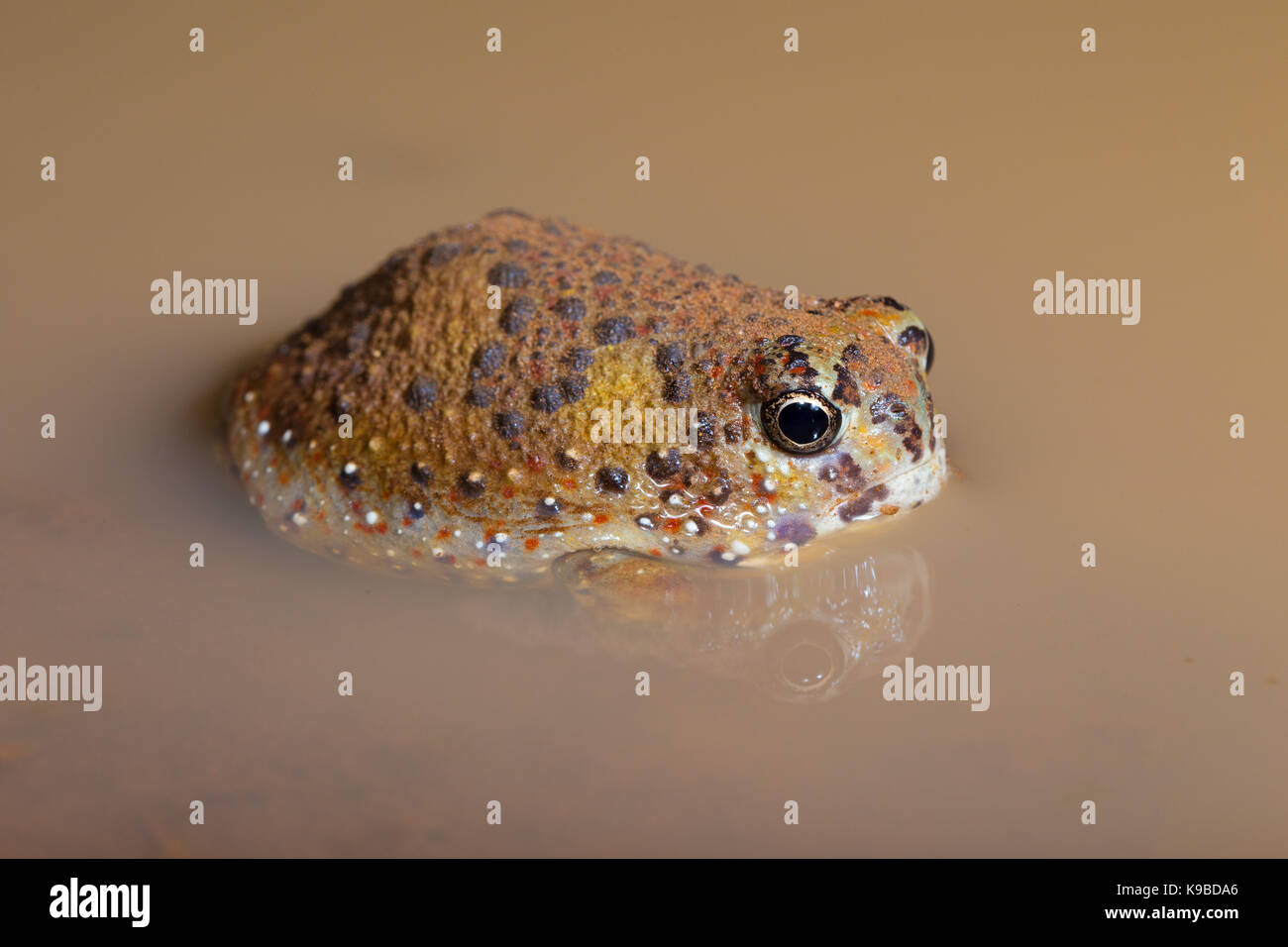 Crucifix Toad also know as Holy Cross Frog (Notaden bennettii), Cunnamulla, Queensland, Australia - Stock Image