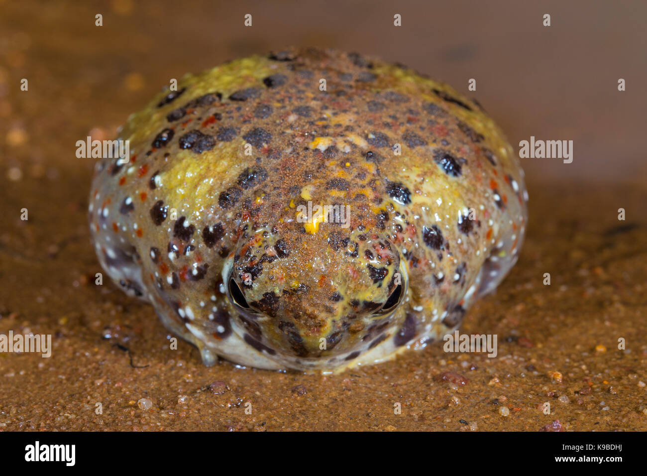 Crucifix Toad, also know as Holy Cross Frog (Notaden bennettii), Cunnamulla, Queensland, Australia - Stock Image