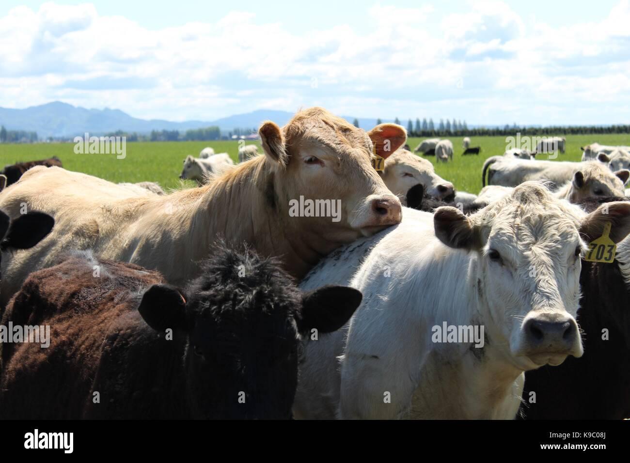 Sleepy Cows Stock Photo