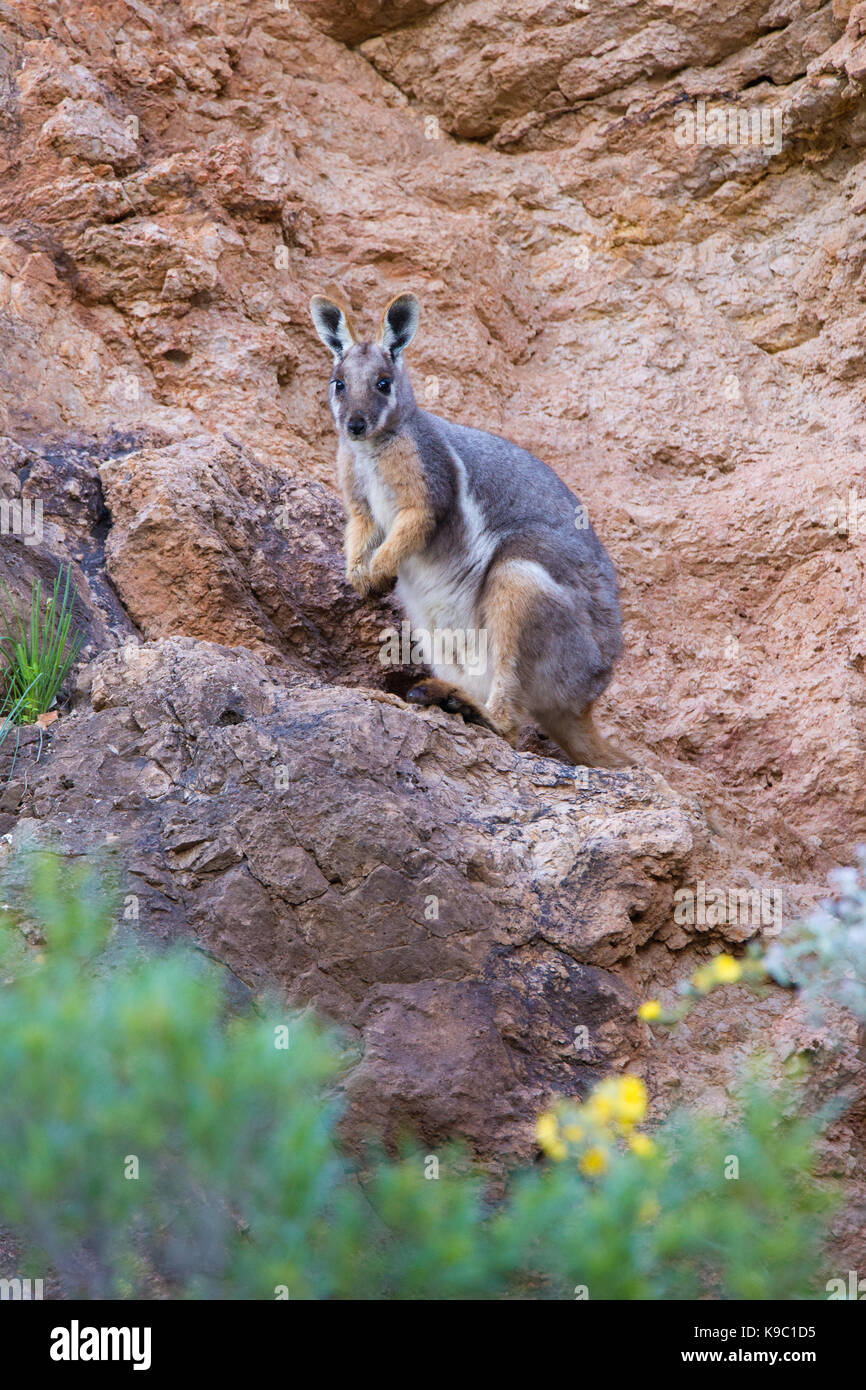 Yellow-footed Rock-wallaby (Petrogale xanthopus) on a rocky ledge in the Flinders Ranges, South Australia - Stock Image