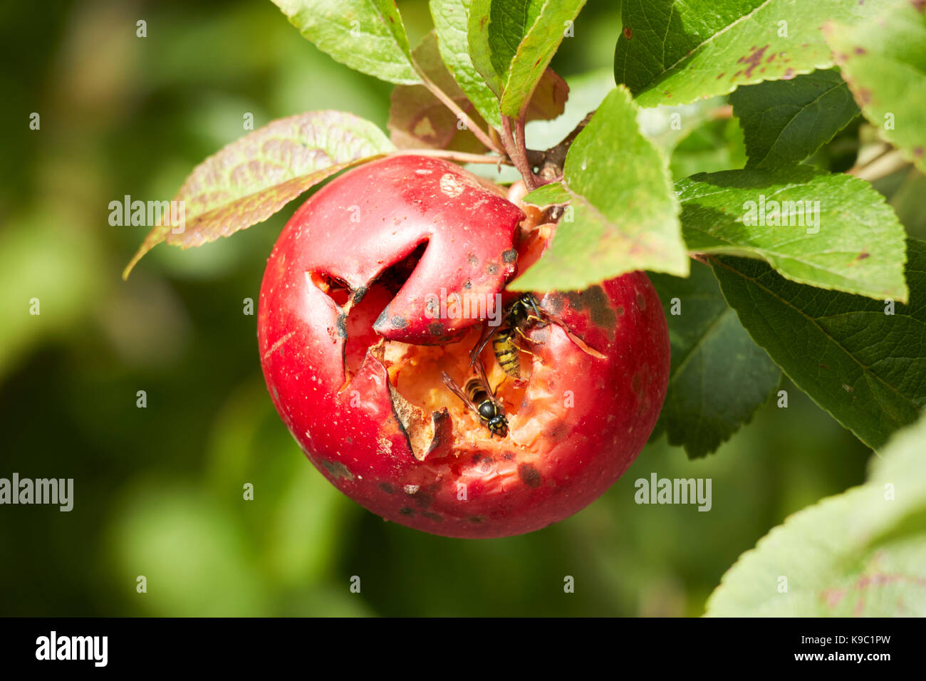 wasps feeding in water split home grown discovery apples in a garden in the uk - Stock Image