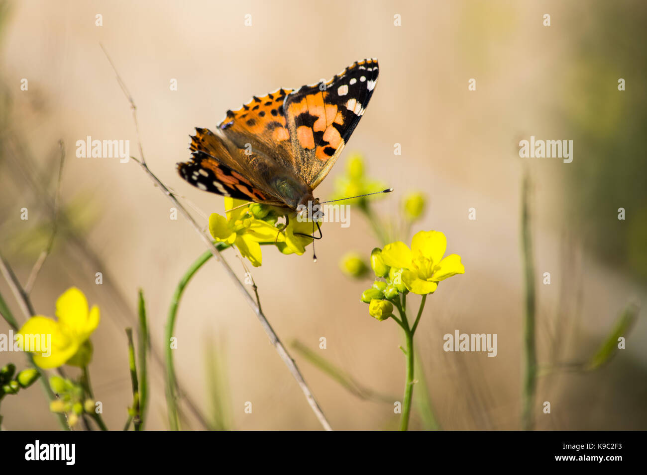 A Red Admiral Butterfly, Vanessa cardui, extracting pollen from a Perennial Wall Rocket, Diplotaxis tenuifolia, - Stock Image