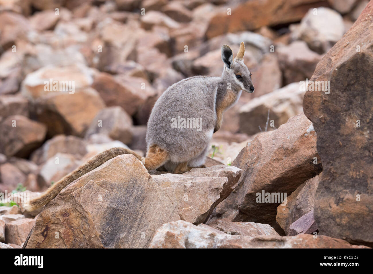 Yellow-footed Rock-wallaby (Petrogale xanthopus) on a rocky slope in the Flinders Ranges, South Australia - Stock Image