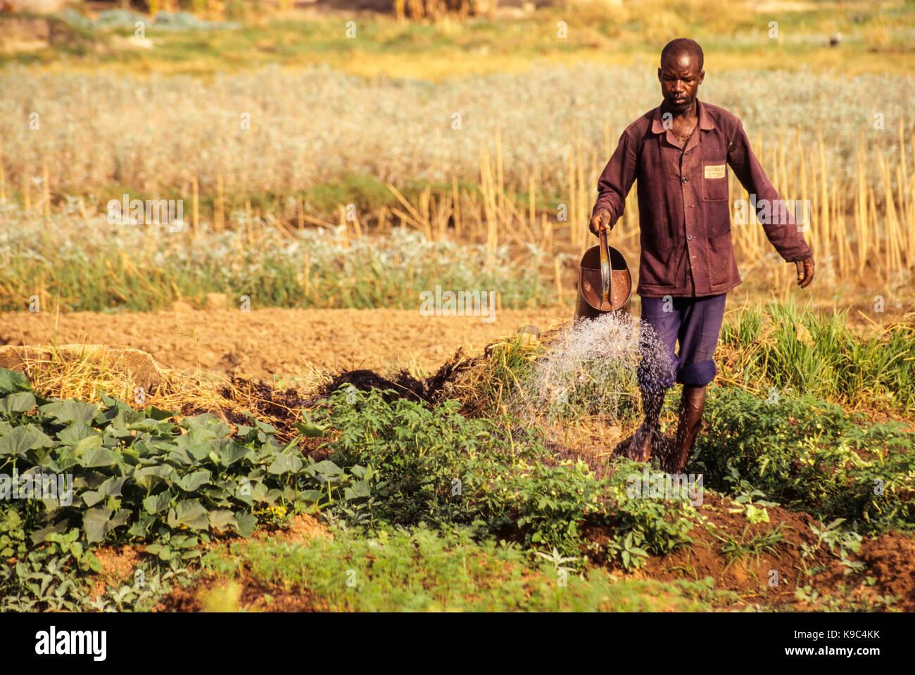 Korhogo, Ivory Coast, Cote d'Ivoire.  Senoufo Farmer Tending his Garden Plot. - Stock Image