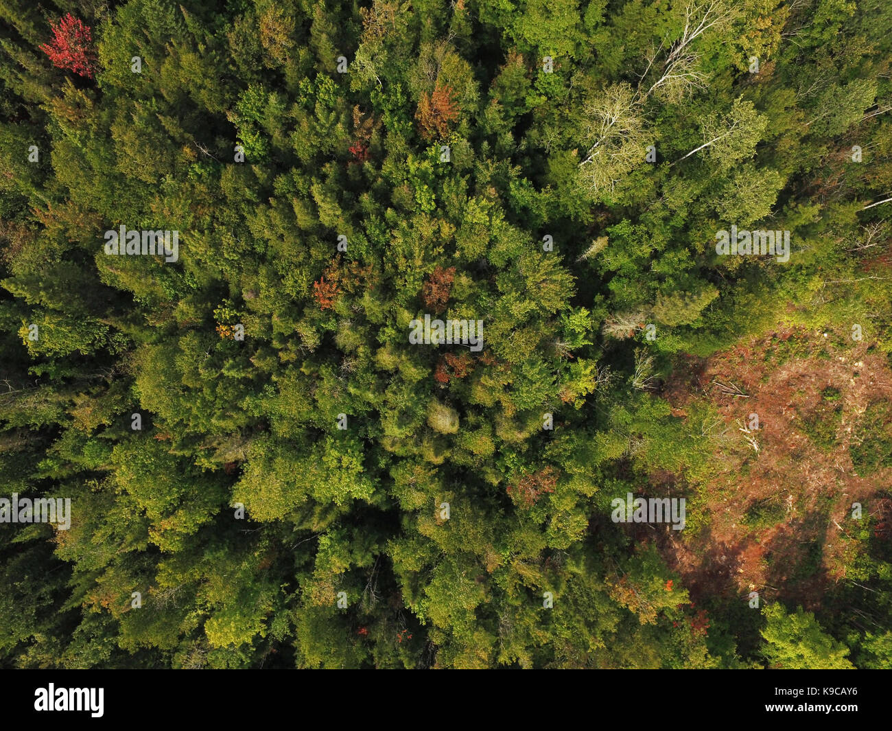 Aerial view of boreal forest evergreen trees - Stock Image