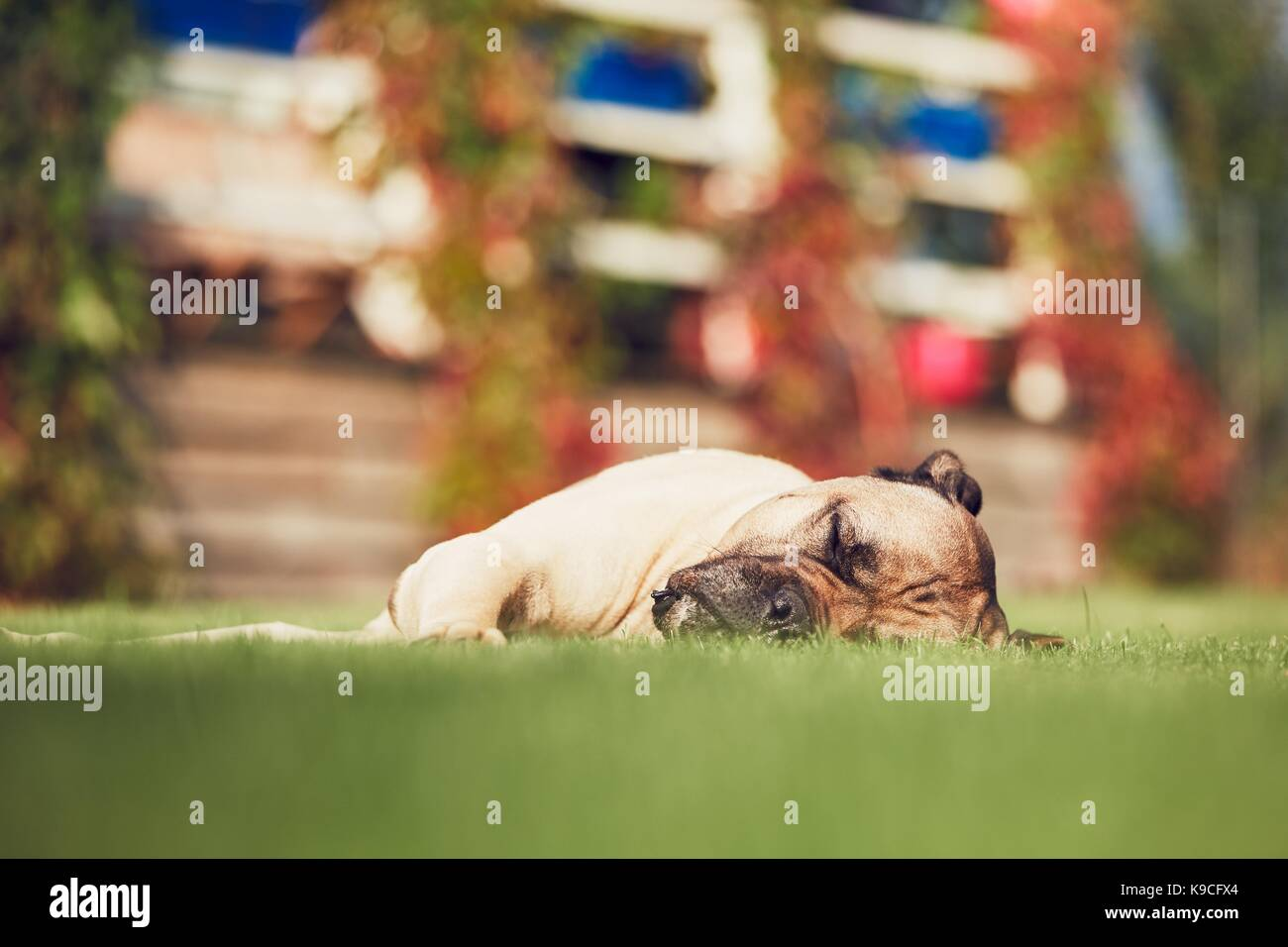 Huge dog (cane corso) sleeping in the garden of the family house. - Stock Image