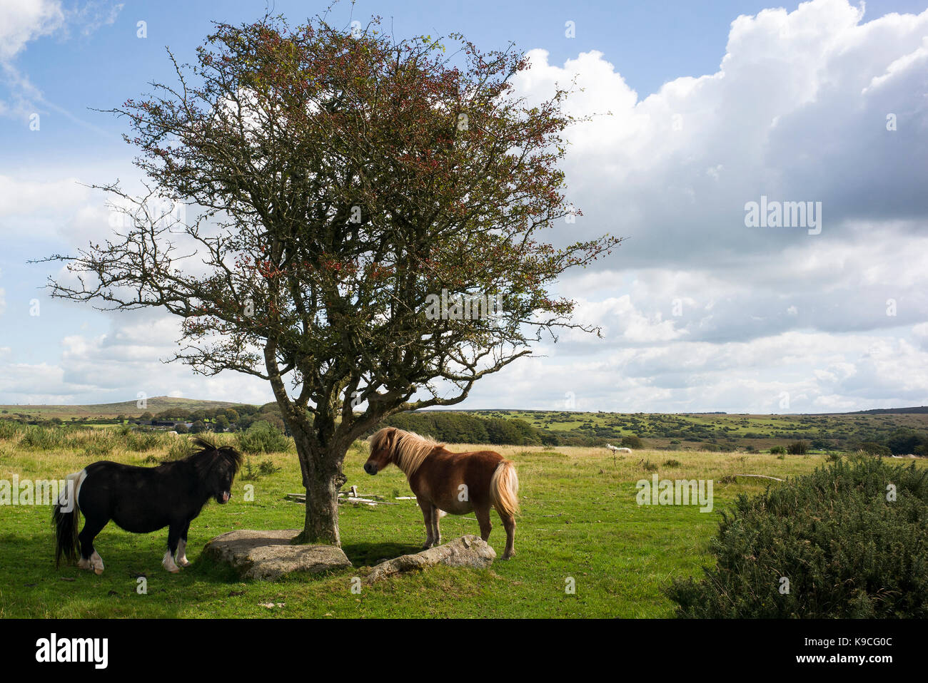 ponies on bodmin moor by tree Stock Photo