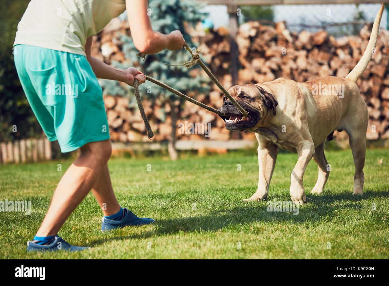 Young man is playing with the dangerous dog in the garden. - Stock Image