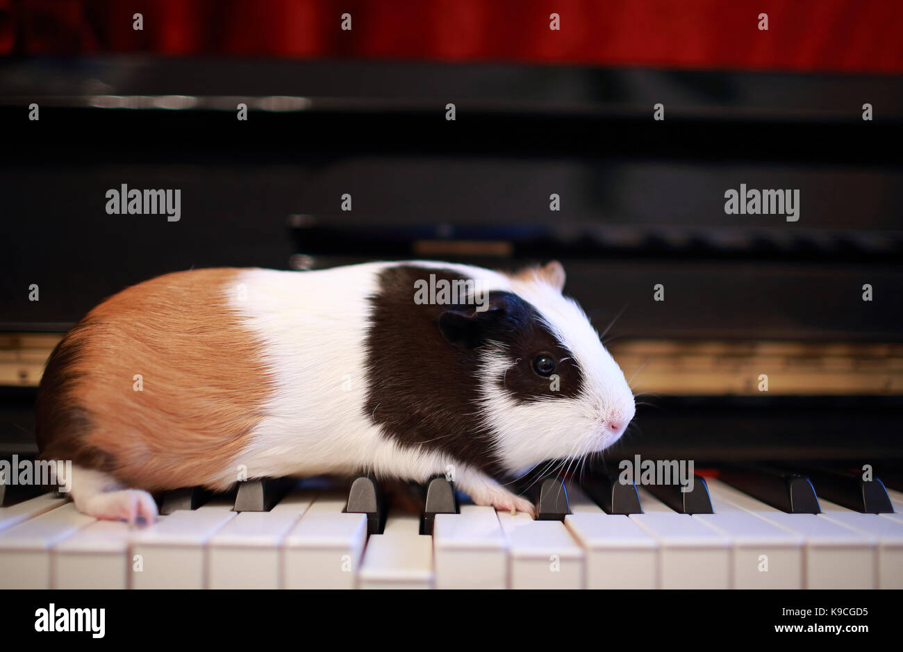 Guinea pig walk on the piano, play talent on music Stock