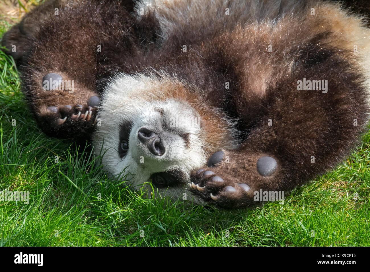 Giant panda (Ailuropoda melanoleuca) playful one-year old cub close up - Stock Image