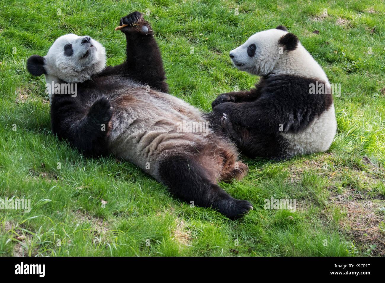 Young giant panda (Ailuropoda melanoleuca) watching mother eating cookie in zoo Stock Photo