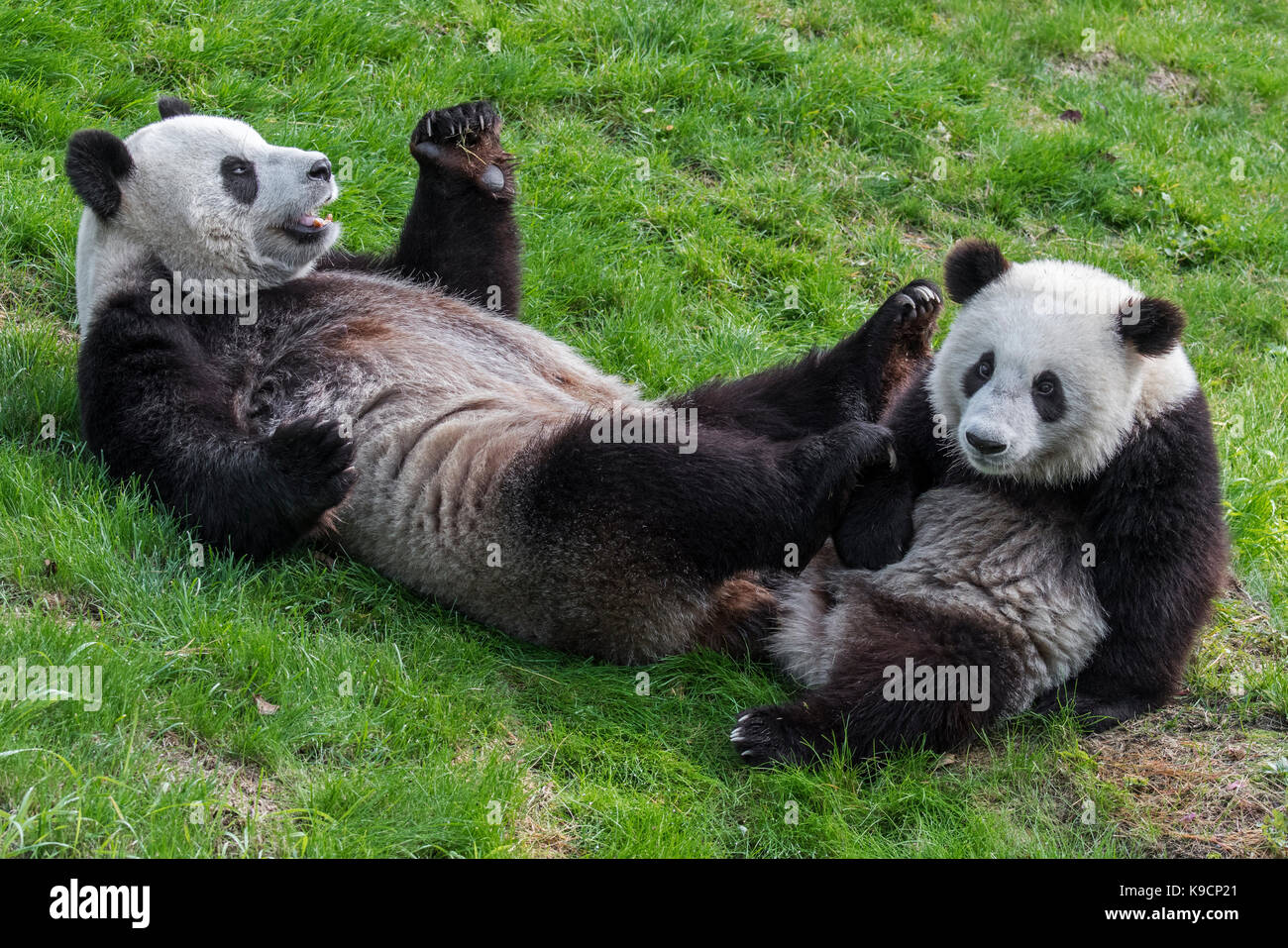 Giant panda (Ailuropoda melanoleuca) female with one-year old cub in zoo Stock Photo