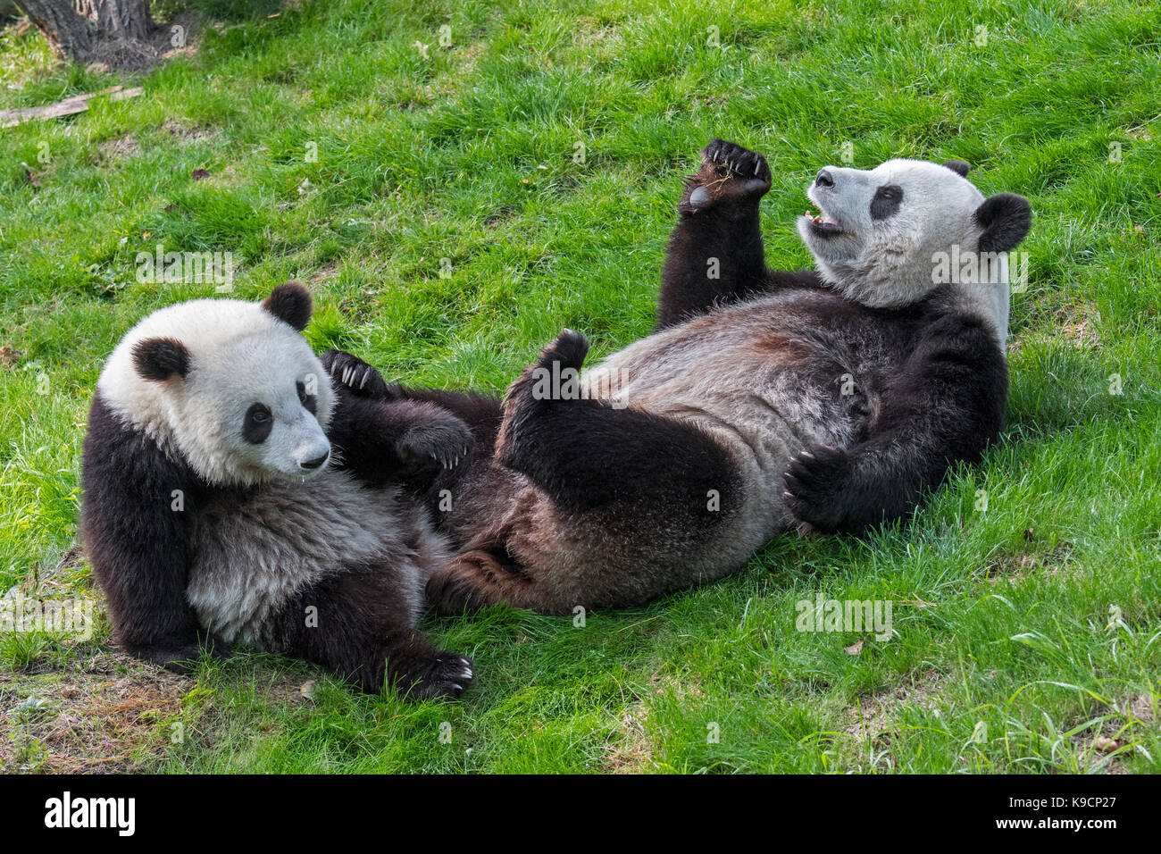 Giant panda (Ailuropoda melanoleuca) female with one-year old cub in zoo - Stock Image