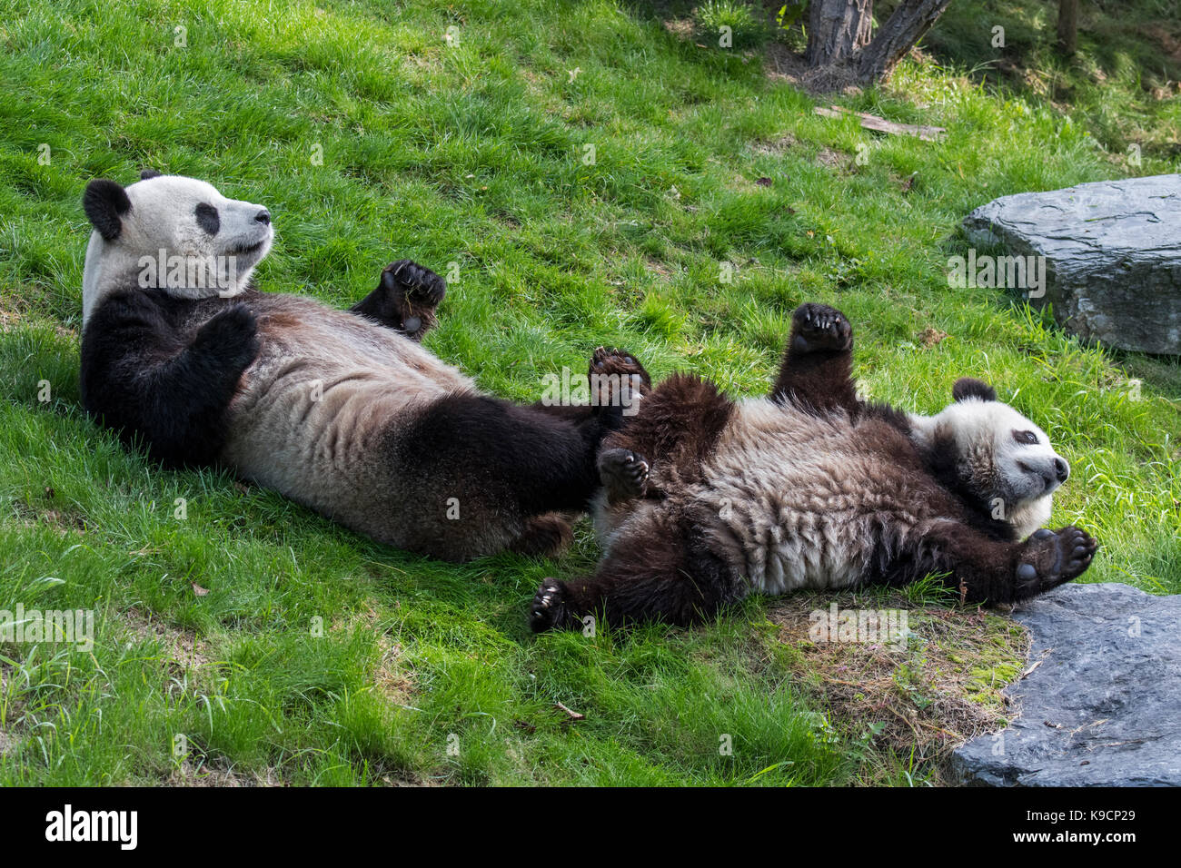 Giant panda (Ailuropoda melanoleuca) female with playful one-year old cub lying on their backs in zoo Stock Photo