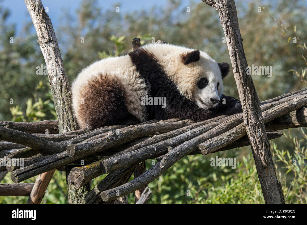 Giant panda (Ailuropoda melanoleuca) one-year old cub sleeping on wooden platform in zoo - Stock Image