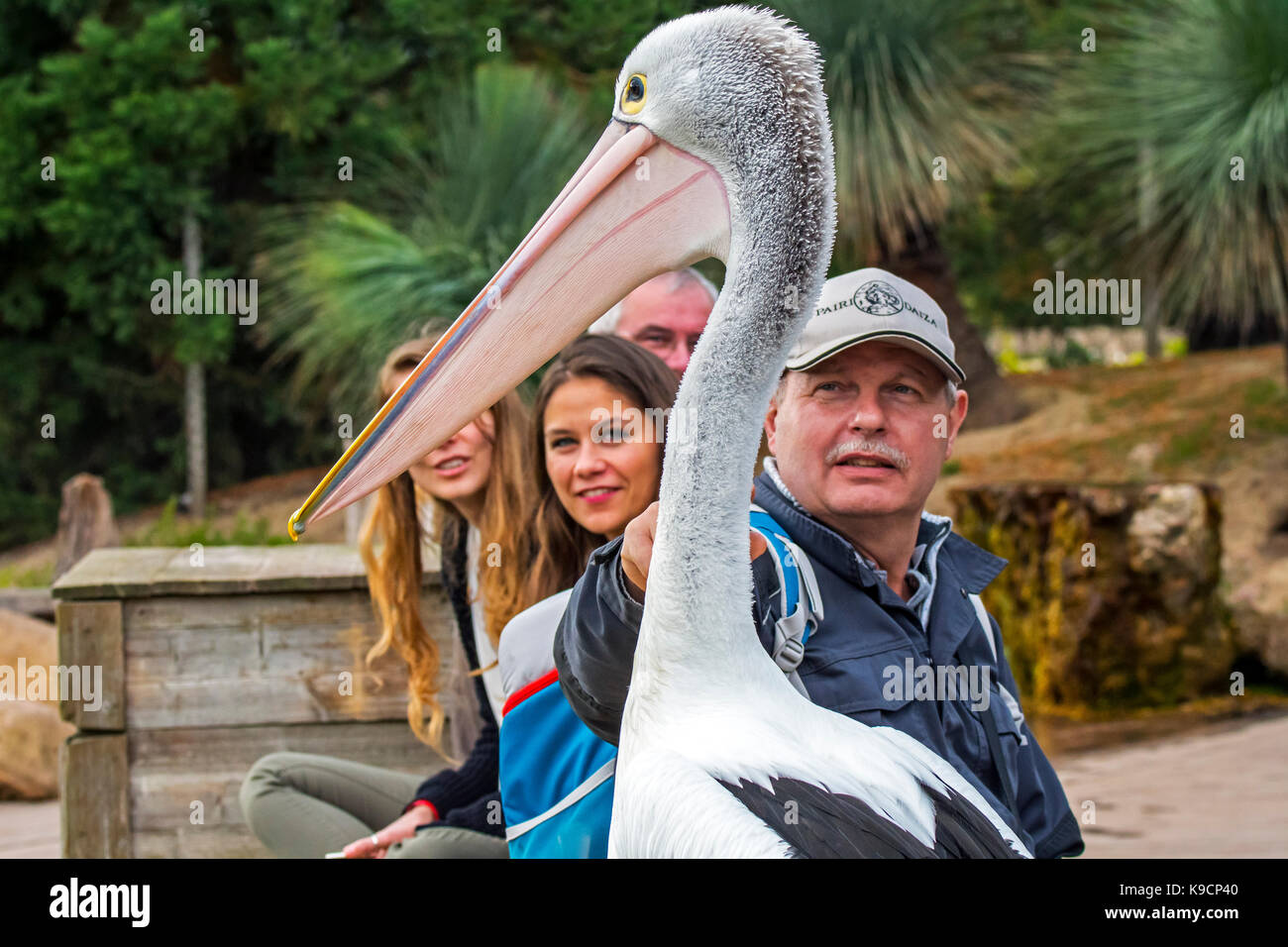 Australian pelican (Pelecanus conspicillatus) among visitors at zoo - Stock Image
