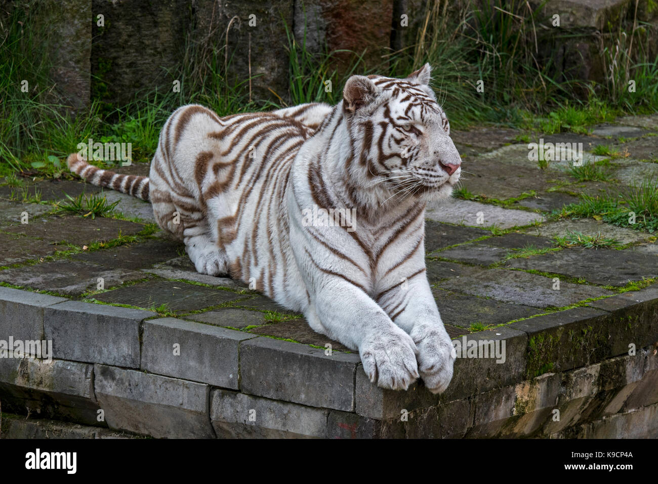 White tiger / bleached tiger (Panthera tigris) pigmentation variant of the Bengal tiger, native to India Stock Photo