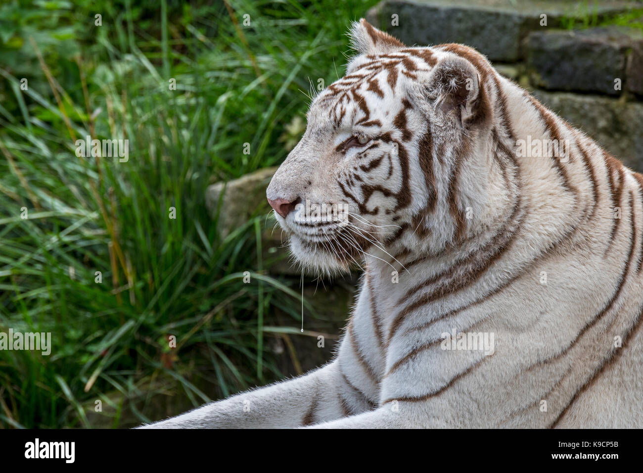 White tiger / bleached tiger (Panthera tigris) pigmentation variant of the Bengal tiger, native to India - Stock Image