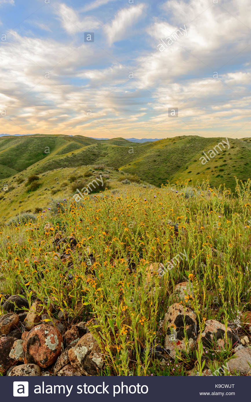 Fiddlenecks in Morning, Panoche Hills Wilderness Study Area, Fresno County, California - Stock Image