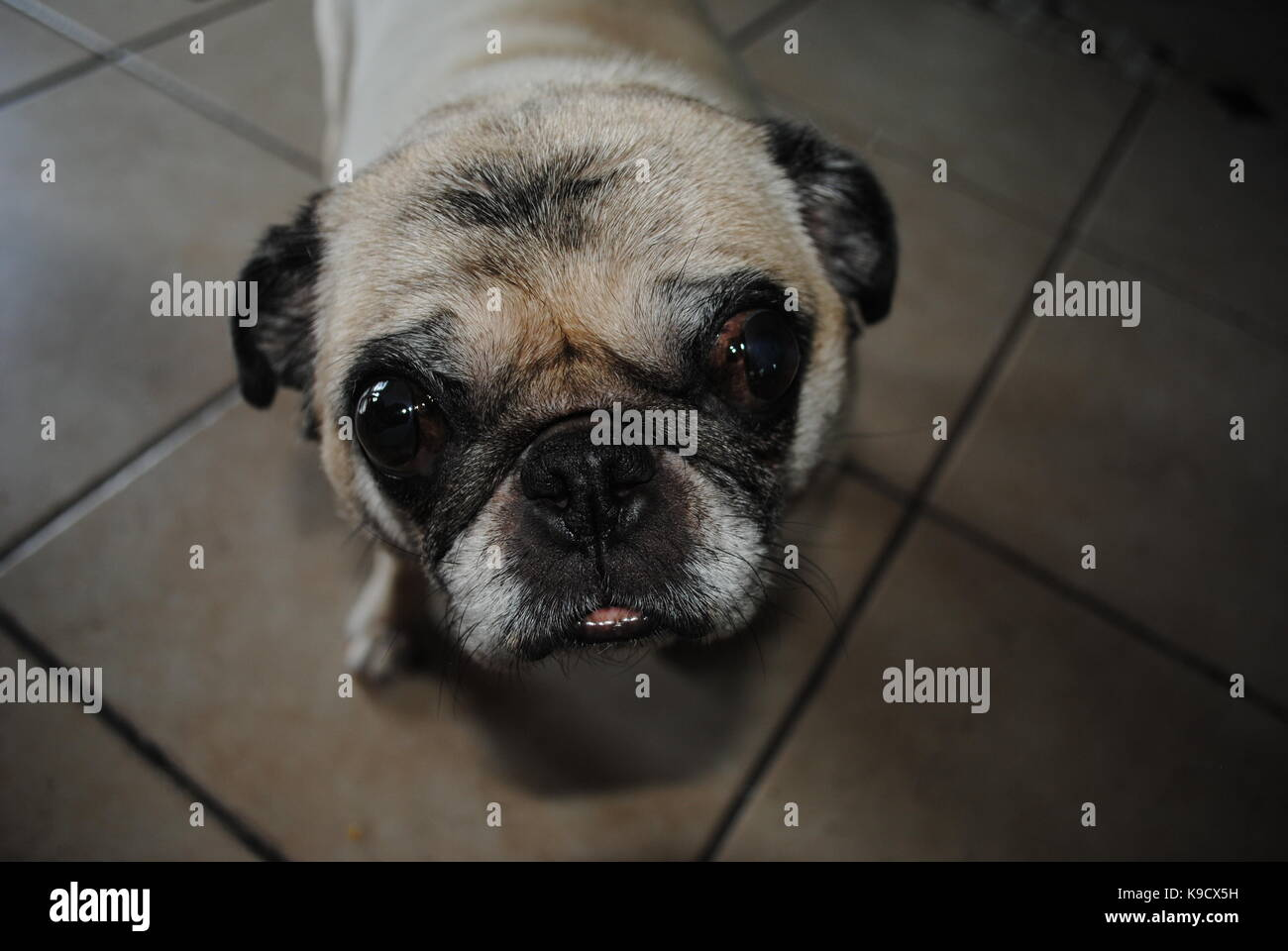 A pug that is begging - Stock Image