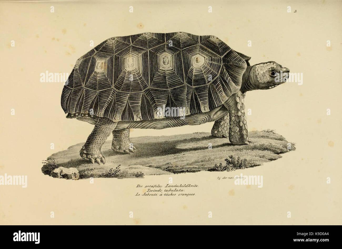 Naturgeschichte und Abbildungen der Reptilien (6059763778) - Stock Image