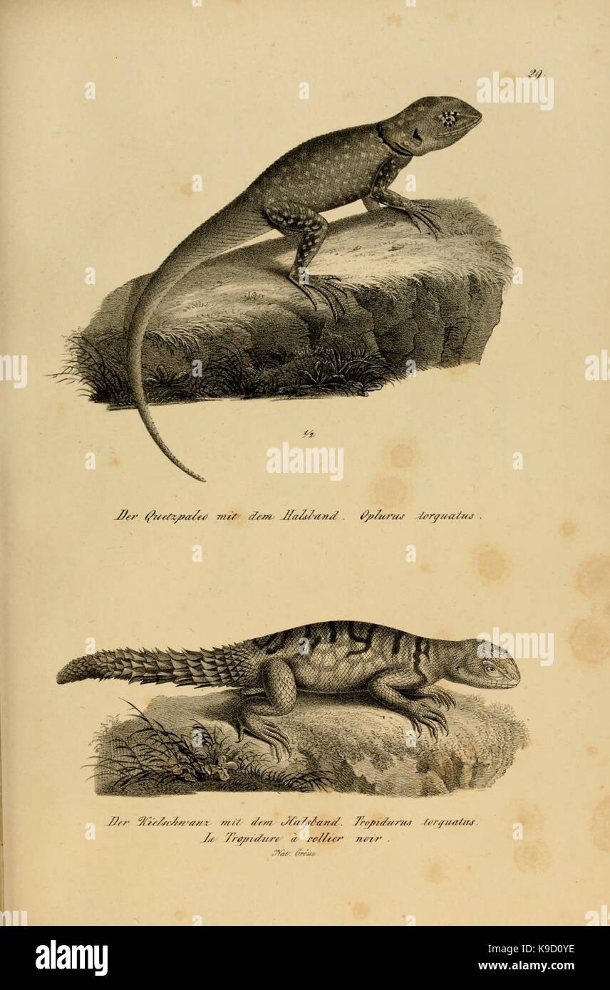 Naturgeschichte und Abbildungen der Reptilien (6059222909) - Stock Image