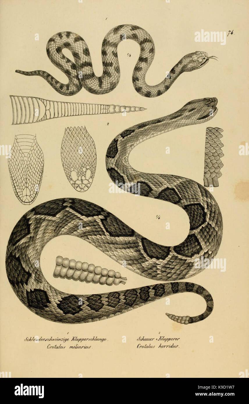 Naturgeschichte und Abbildungen der Reptilien (6059781042) - Stock Image