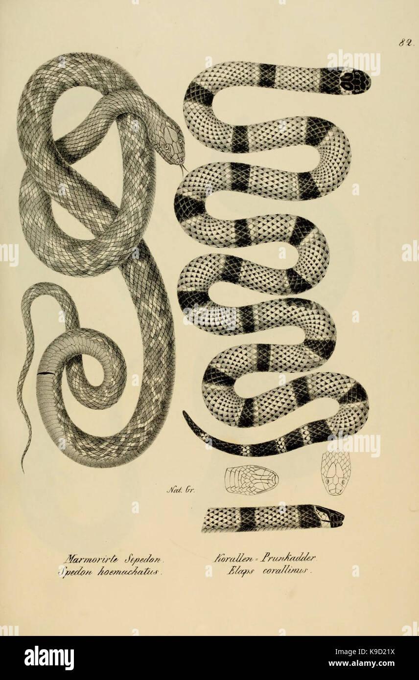 Naturgeschichte und Abbildungen der Reptilien (6059235255) - Stock Image