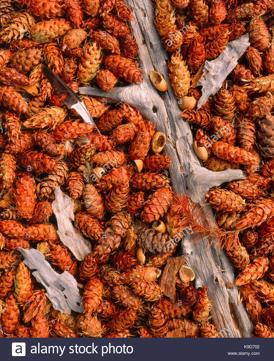 Feather and Acorns Dropped by Acorn Woodpeckeron Douglas-fir Cones, Phillip Burton Wilderness,Point Reyes National - Stock Image