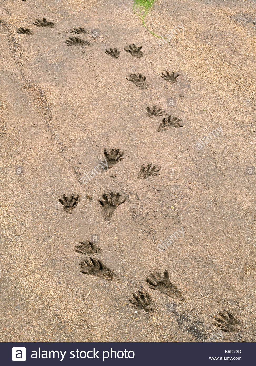 Raccoon Tracks on the Shore of Tomales Bay, Point Reyes National Seashore, California Stock Photo