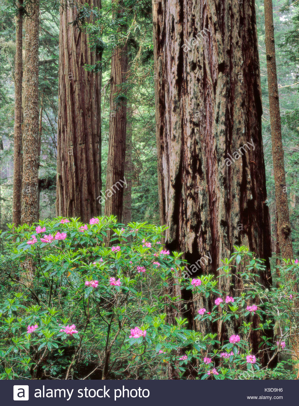 Rhododendron and Coast Redwood,Del Norte Coast Redwoods State Park,Redwood National Park, California - Stock Image