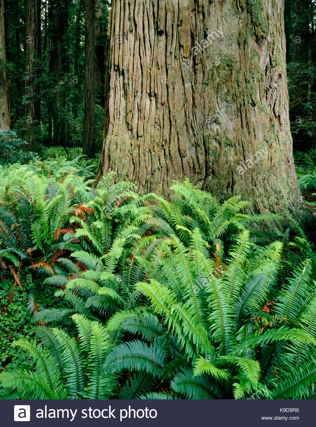 Stout Redwood and Fernsin Stout Grove,Redwood National Park, California - Stock Image