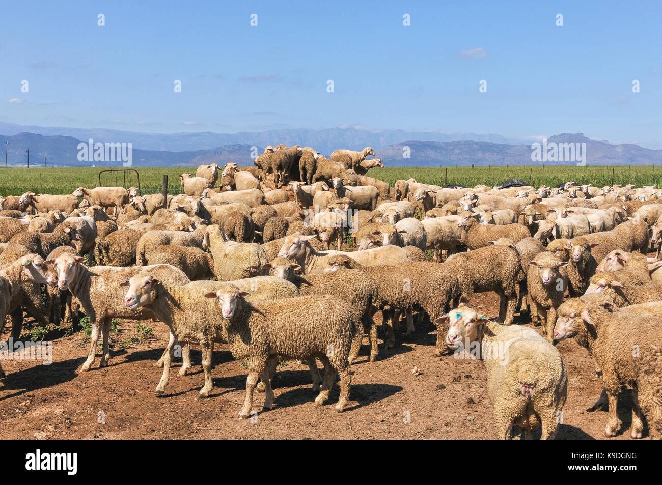 sheep at Riebeek Wes, Swartland, South Africa Stock Photo
