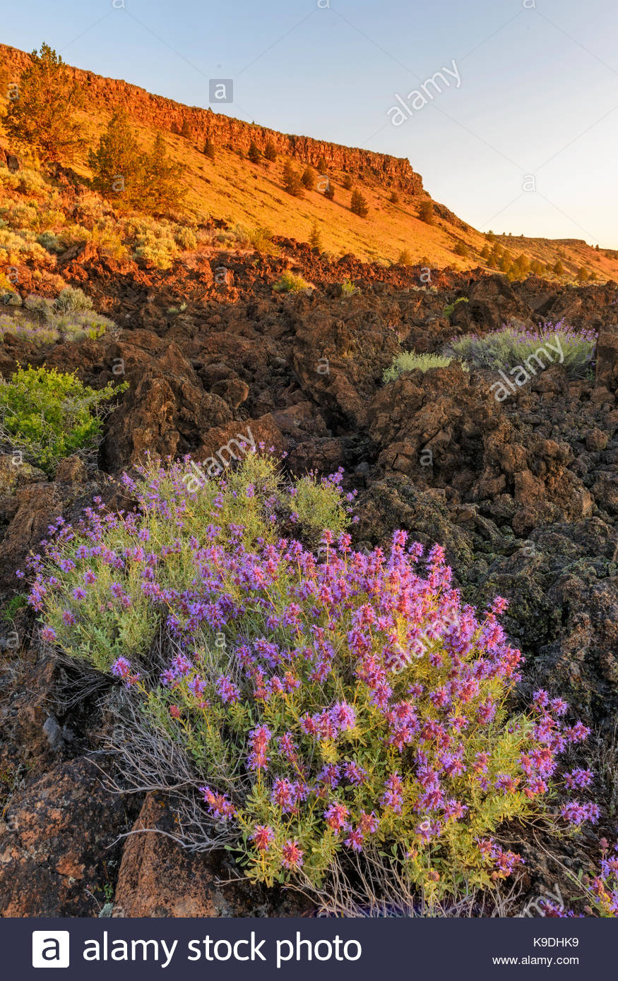 Purple Sage and Gillams Bluff at Sunrise, Lava Beds National Monument, California - Stock Image