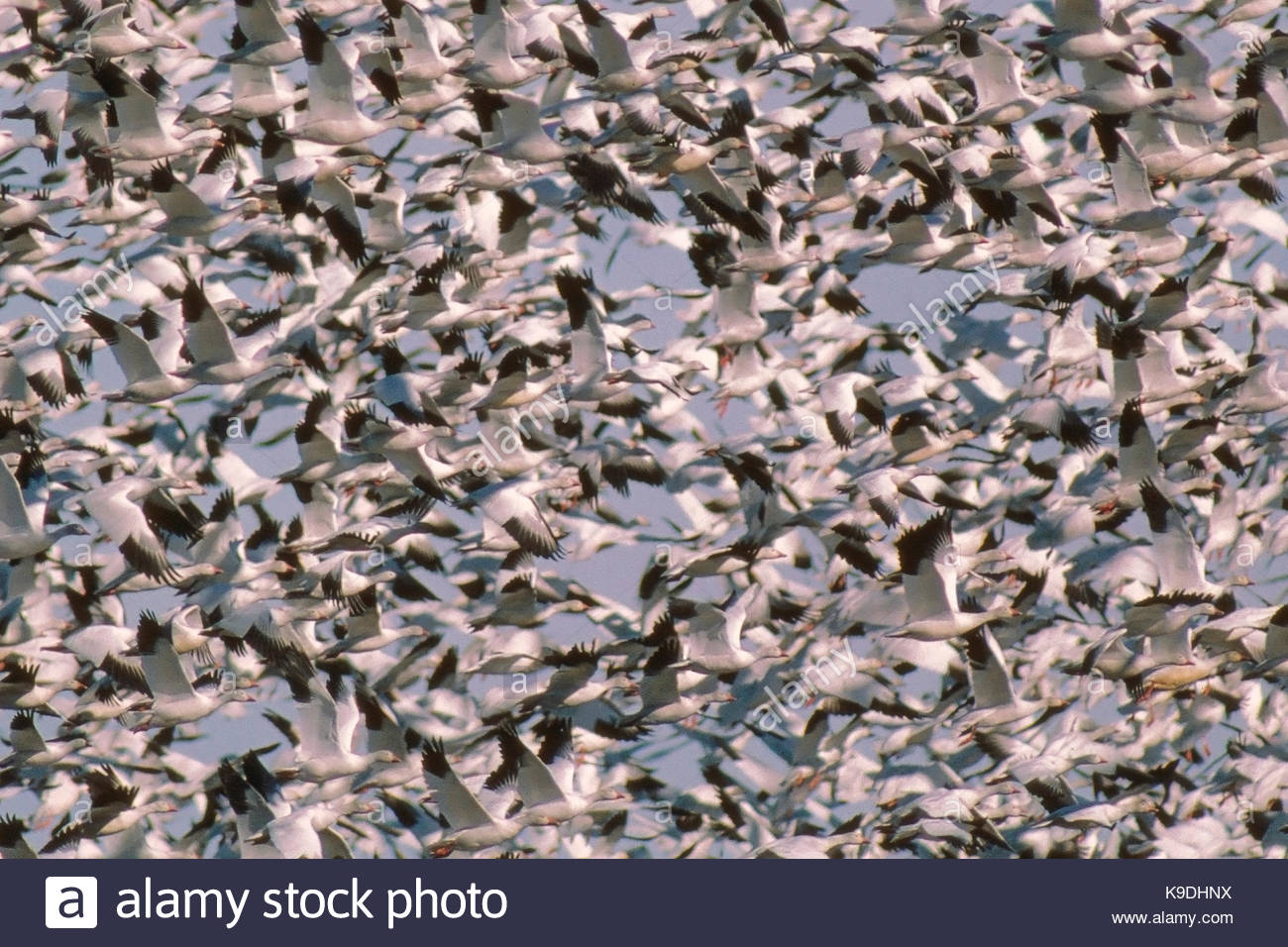 Masses of Snow Geese in Flight, Gray Lodge Wildlife Area, California - Stock Image