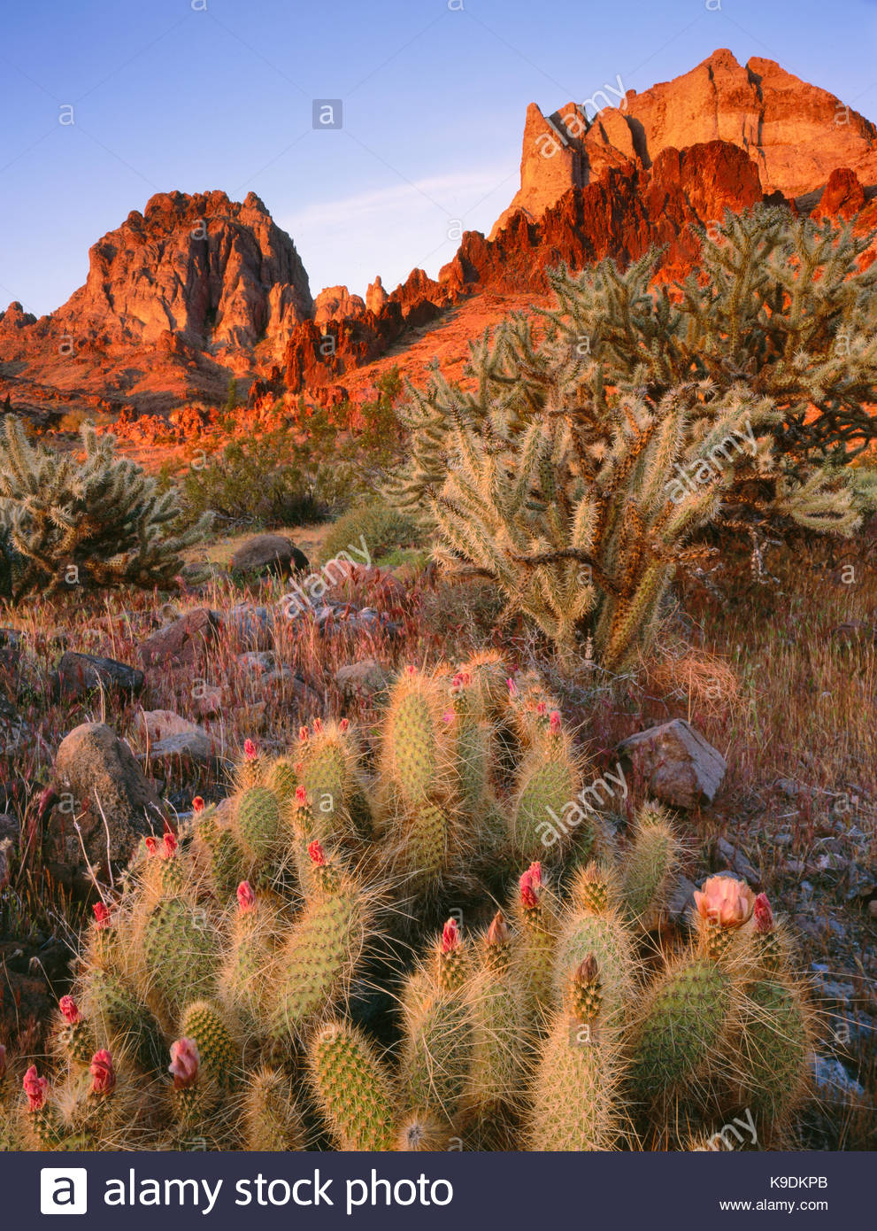 Grizzly Bear Cactus and the Turtle Mountains at Dawn, Turtle Mountains Wilderness, California - Stock Image