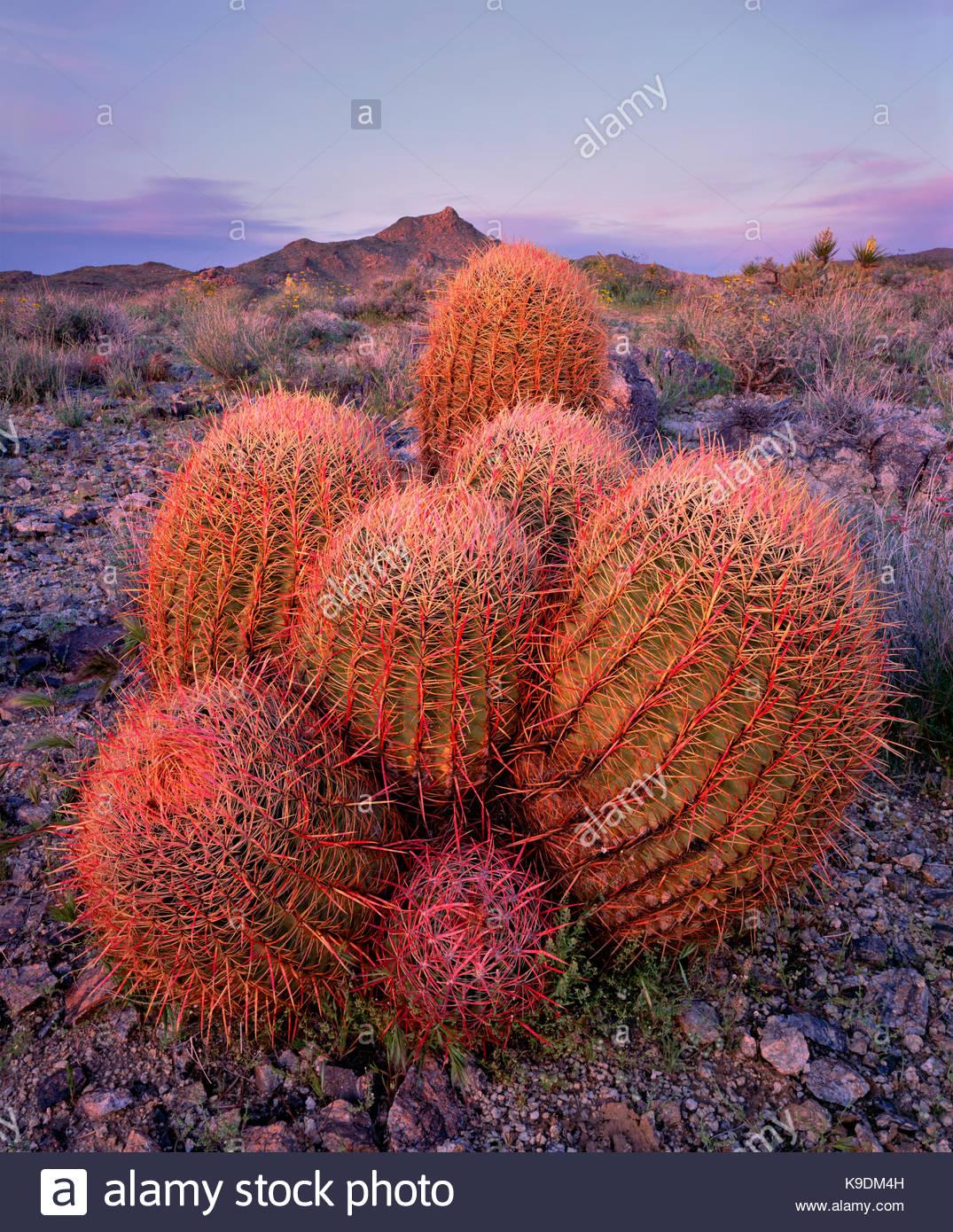 Barrel Cactus Grouping at last Light, Mojave National Preserve, California - Stock Image