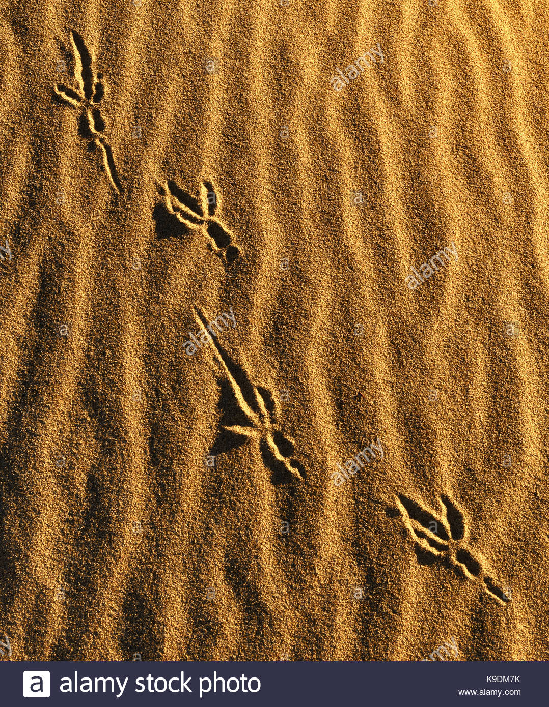 Raven Tracks on Sand Dune, Death Valley National Park, California - Stock Image