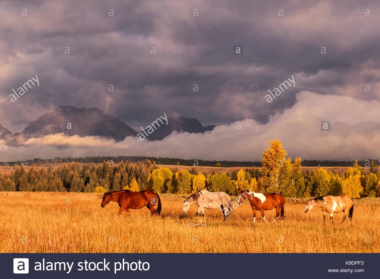 Four Horses, Teton National Forest, Wyoming - Stock Image