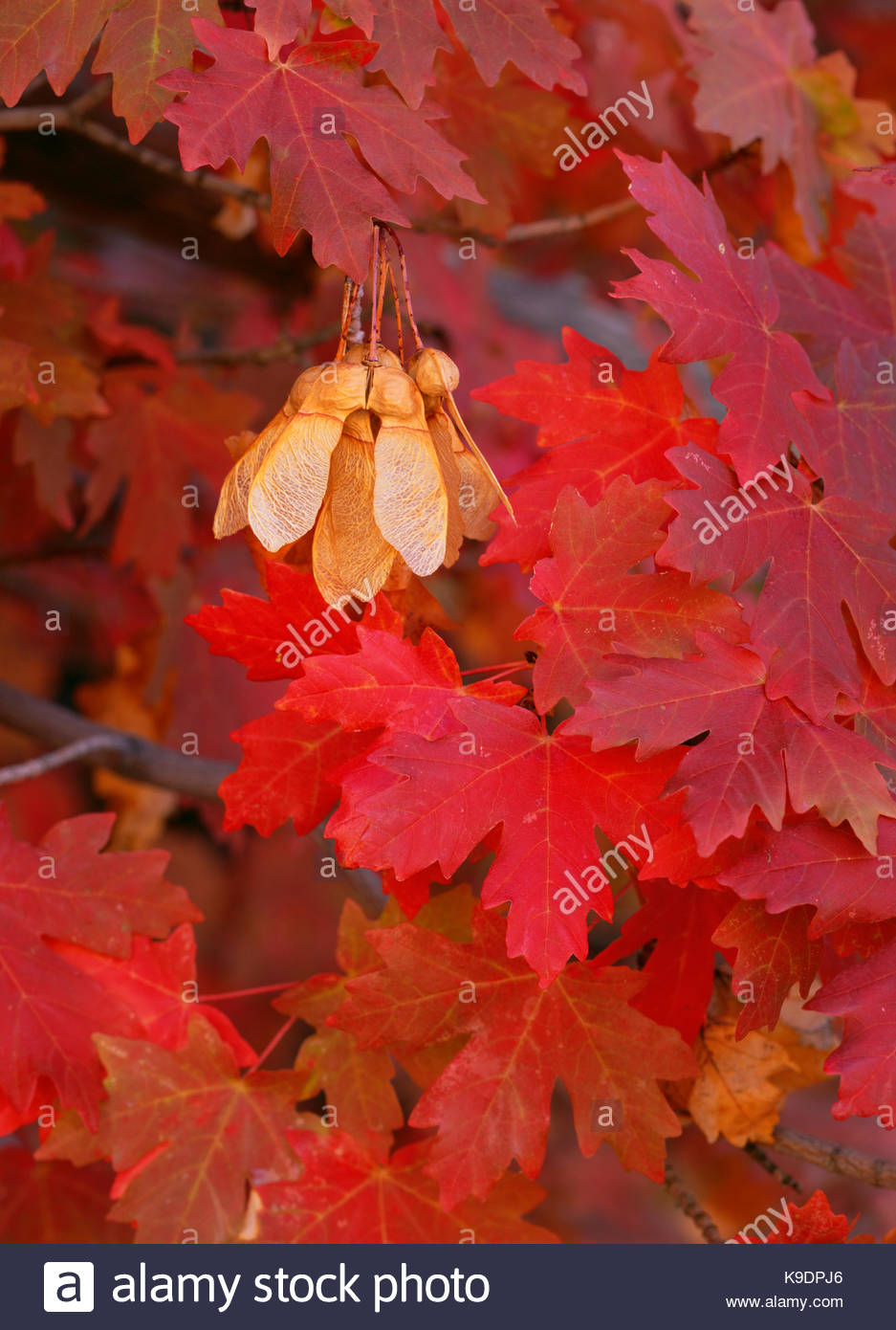 Bigtooth Maple Leaves and Seeds, Zion National Park, Utah Stock Photo