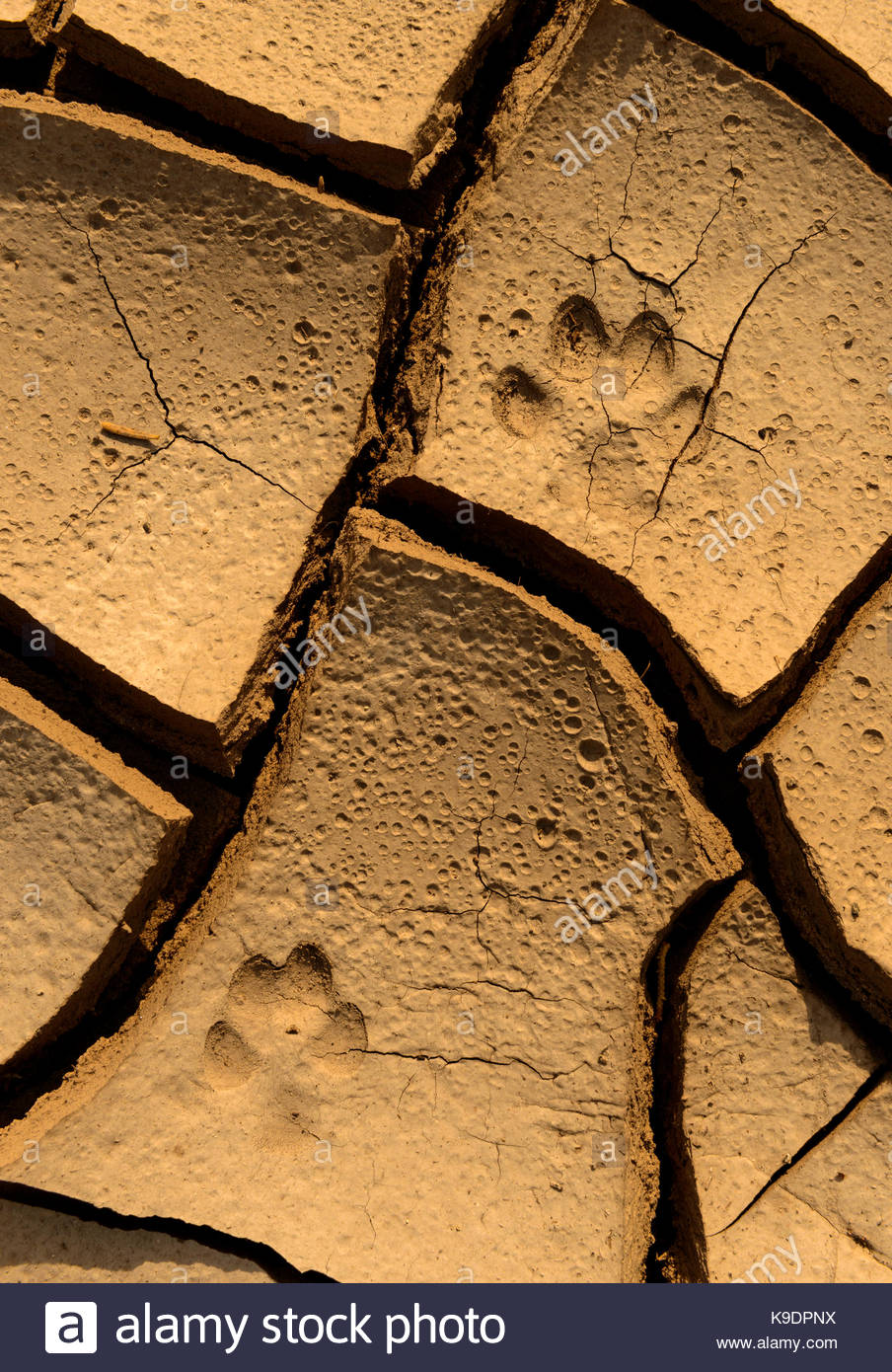 Bobcat Tracks in Creek Bed at Sunrise, BLM Lands, White Pine County, Nevada - Stock Image