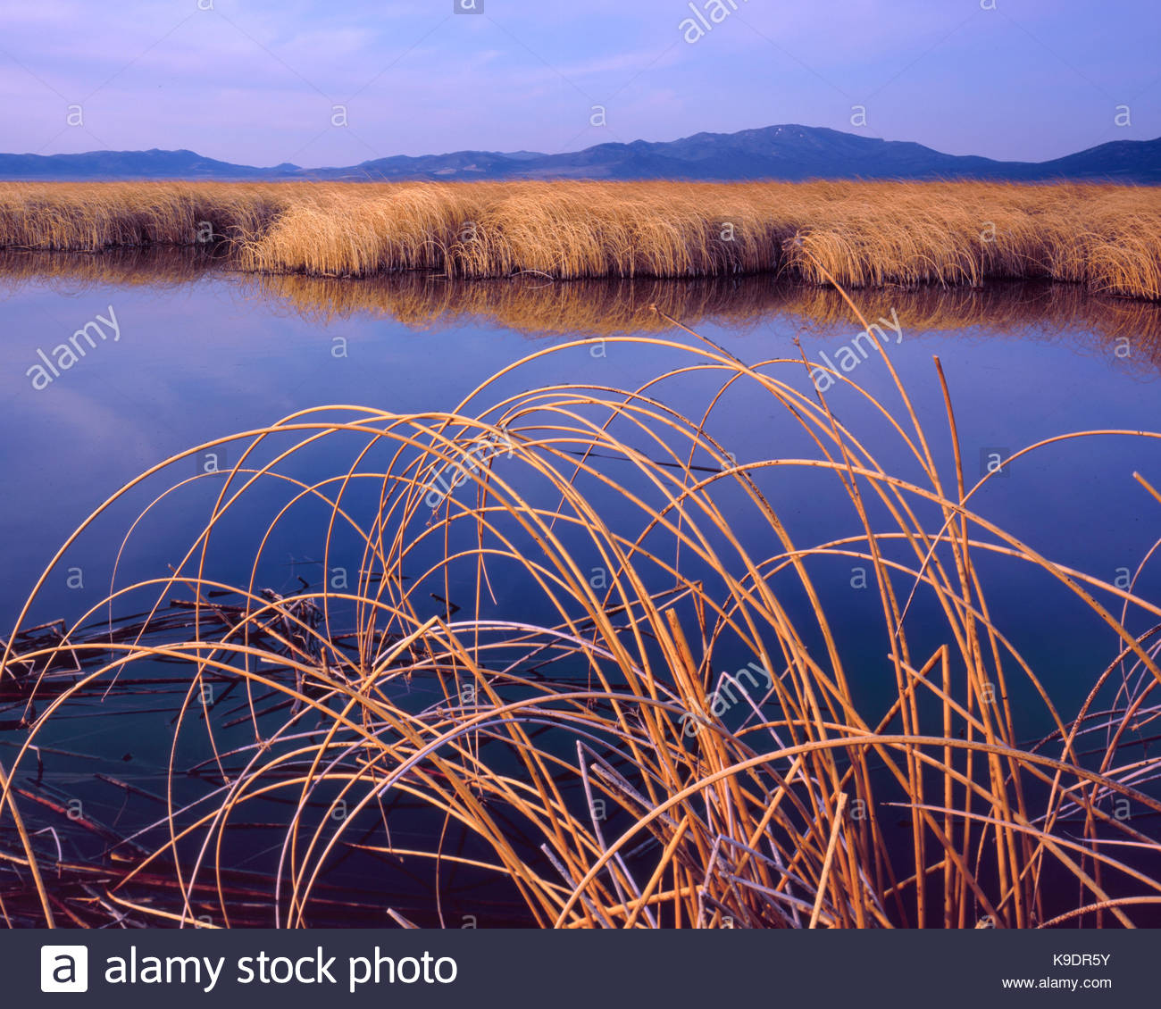 Reeds, Ruby Lake NationalWildlife Refuge, Nevada - Stock Image