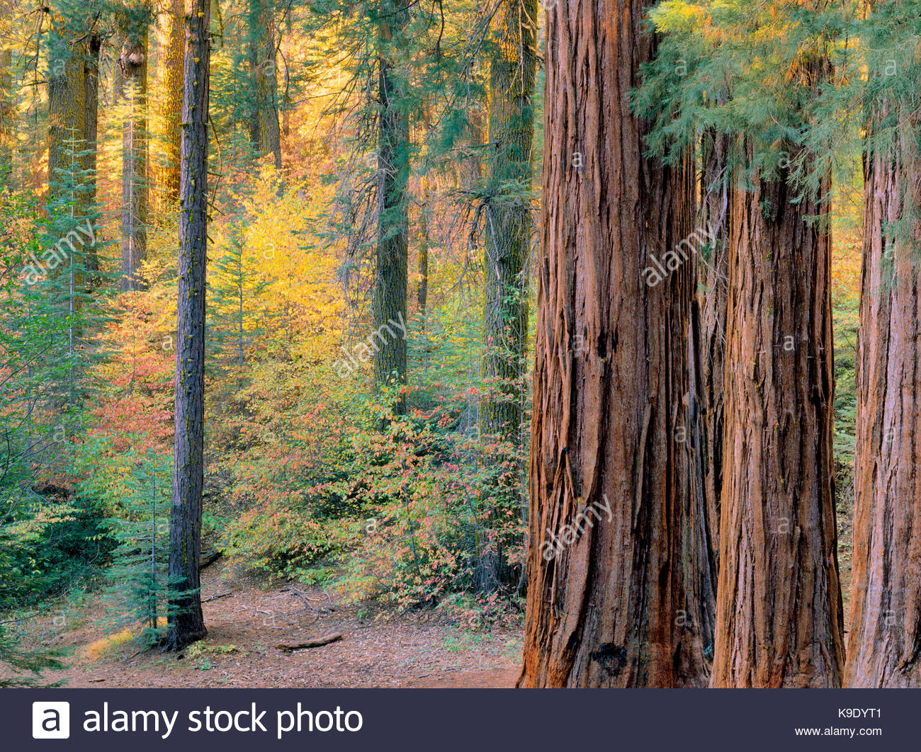 Giant Sequoias in Fall in the Merced Grove,Yosemite National Park, California - Stock Image